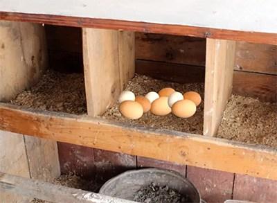 Кладка куриных яиц