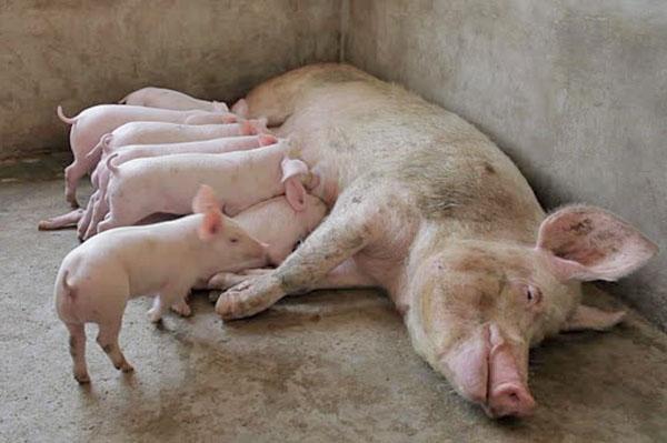 Свиноматка с малышами