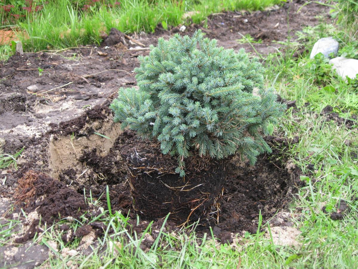 Размножаем ели грамотно, или вечнозеленый участок