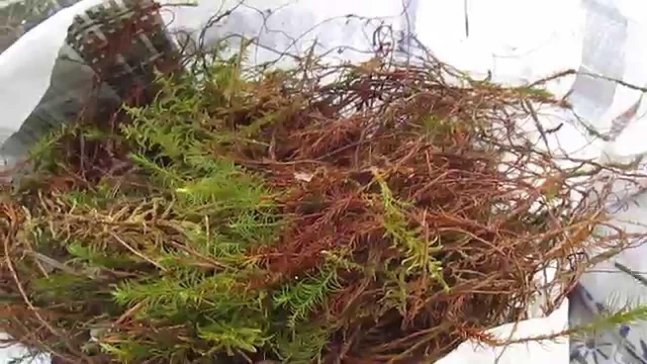 Красный мох