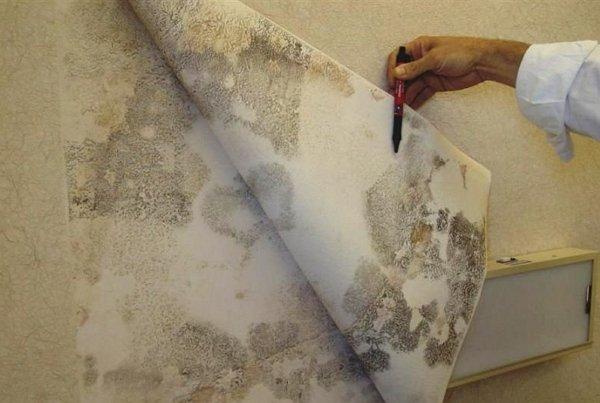 На фото - плесень под обоями в каркасном доме, krutostroi.com