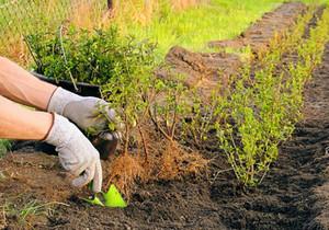 Посадка ивы для изгороди