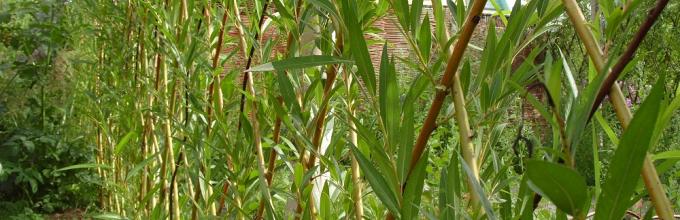 Пошаговая инструкция по созданию живой изгороди из ивы своими руками